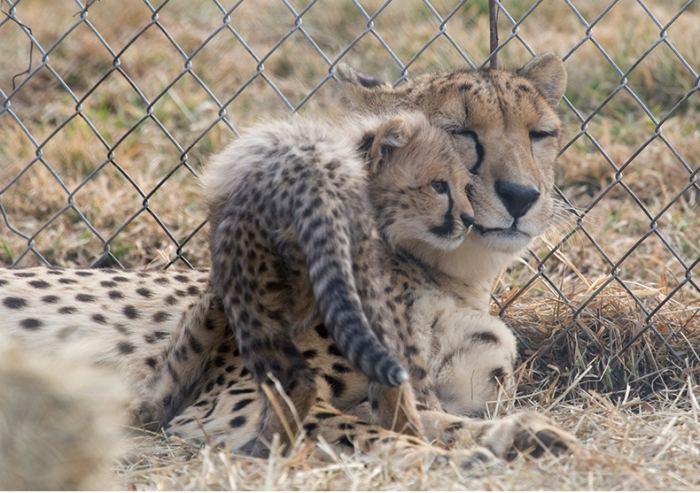 The cheetah has been critically endangered for decades. Between 7,000 and 10,000 cheetahs are left in the wild—the majority in Africa—down from 100,000 in 1900, and habitat destruction and human conflict continue to decrease their numbers.  Credit: Smithsonian's National Zoo/Flickr