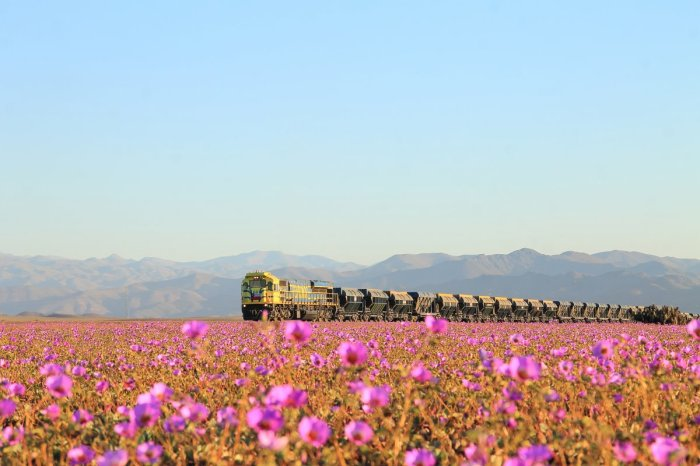 atacama-has-turned-into-a-floral-oasis